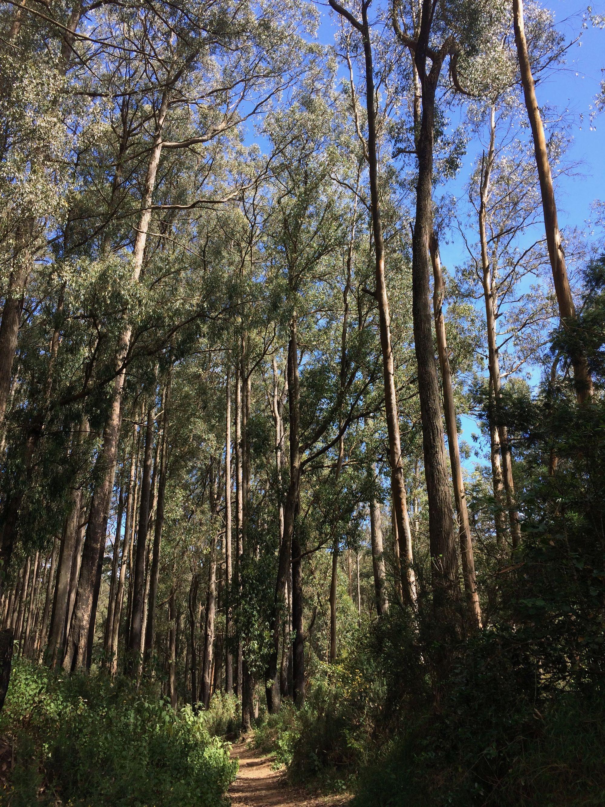 Canopy of Nilgiri forest